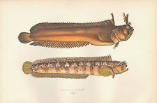 1877 ANTIQUE PRINT-COUCH BRITISH FISHES- YARRELL'S BLENNY