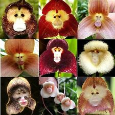 FRESH 100 x Pack Of Mixed colour monkey Face Faced Orchid Seeds Stunning ☀️UK☂️