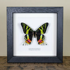 Madagascan Sunset Moth in Box Frame (Chrysiridia rhipheus) Butterfly Frame