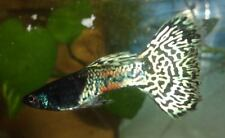 5+ Assorted Color Metal Lace Guppy Fry ,Purple, Blue, Red, Yellow Fancy Guppies