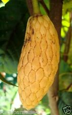 Annona conica Ecuador Variety Imported Tropical 5 Seeds Pkt.