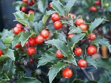 China Girl Holly, shiny evergreen w/berries, FIVE plants