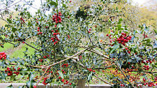 HOLLY ALBERO / Bush / hedge Ilex aquafolium 15 semi