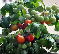 ORGANIC TINY TIM TOMATO seed (30ct) 2016  seed is selected and grown in the USA