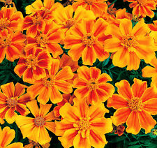 50 French Marigold Seeds Tagetes Patula Ornamental Garden Flowers A021