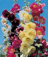 RARE! 11 FT TALL GIANT DANISH HOLLYHOCK  FLOWER SEEDS MIX 50+