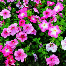 Colorful Petunia Seed 100 Seeds Petunia Hybrida Vilm Flower Garden Seed Hot A062