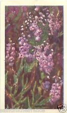 IMAGE CARD Calluna vulgaris Callune Common heather Ling FLEUR FLOWER NORWAY N°38