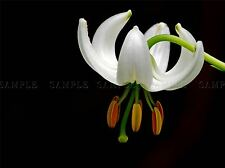 LILIUM MARTAGON LILLY FLOWER BLOOM PHOTO ART PRINT POSTER PICTURE BMP1897A