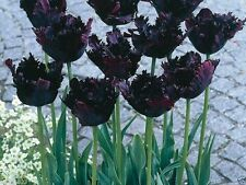 "10 Tulip Bulbs (Parrot) - ""Black Parrot"", Fall Planting Bulbs. Shipping now !"