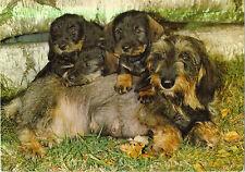 Hund, Dackel, Hündin mit ihren Welpen
