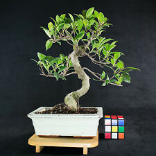 Taiwanese Ficus Shohin Bonsai Tree - Tiger Bark  #  2294