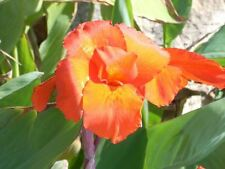 CANNA LILY SEEDS - FIORIFERA - TROPICAL FLOWERS - 10 Seeds