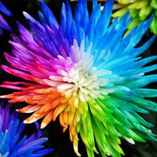 100Pcs Rainbow Chrysanthemum Flowers Livingstone Daisy Seeds Garden Plant