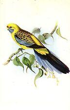 Vogel, Sittich, ca. 40er Jahre
