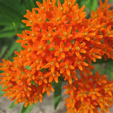 90Pc/Lot Home Garden View ORANGE BUTTERFLY MILKWEED Asclepias Flower Seeds