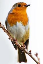 Robin Erithacus Rubecula (Birds of the World) : Blank 150 Page Lined Journal...