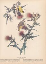 "1942 Vintage AUDUBON BIRDS #33 ""GOLDFINCH"" Full Color Art LOVELY Lithograph"