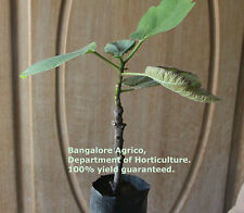BONSAI DWARF FIG - RARE VARIETY - LIVE PLANT - ALL CLIMATE - BANGALORE AGRICO