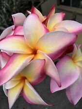 RAINBOW COLOR PLUMERIA CUTTING 12-14 INCHES FRESH AND READY TO GROW