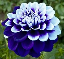 Blue & White Dahlia Flower Seeds  100 SEEDS FREE SHIPPING!!!!