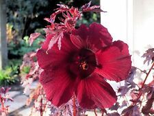 MAHOGANY SPLENDOR Tropical Hibiscus - 5 SEEDS ,like RED JAPANESE MAPLE