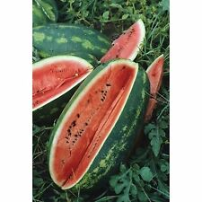 4 Ounces CONGO WATERMELON SEEDS. Grows Giant 40 Pounders! Heirloom, USA Seeds!