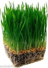 Grass for dogs Seeds Pet Herb 20 seeds S0863