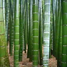 Moso Bamboo GIANT BAMBOO, Phyllostachys pubescens-150