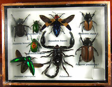 Real Butterfly Insect Bug Taxidermy Display Wooden Framed Box Small Set gpasy 04