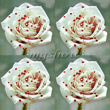 220Pcs White Drop Of Blood Rose Seeds Magical Flowers Plant Home Perennial