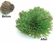 2 for 1 resurrection plant rose of jericho