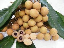 Dragon Eye Fruit seed Longan Rare Tropical Thai Sweet DIMOCARPUS LONGAN Diliciou