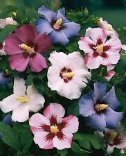 3 Rose of Sharon Hibiscus Syriacus 6-10 inches and is a 2 + year old Seedling
