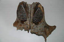 Woolly Mammoth Upperjaw (FXS 599)