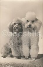 RPPC of TWO POODLE DOGS Dog REAL PHOTO Photograph