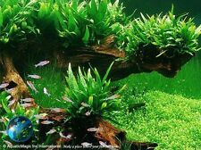 Philippine Java Fern - Aquarium Plant Brackish Water