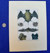 Vintage engraving of bats Natural history flying mammals mounted picture