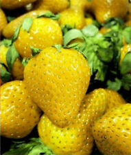 Fruit seeds - Strawberry Strawberries FRAGARI Yellow Fruit Edible