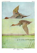"1936 Vintage FUERTES BIRDS #15 ""PINTAIL DUCKS FLYING"" Color Art Plate Lithograph"