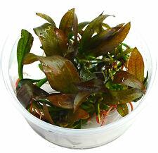 Echinodorus Hot Pepper Mittelgroße rotgefärbte Schwertpflanze In vitro XL Ø 8,5