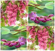 (100) Rose Locust Tree Seed - Bristly Locust, Robinia hispida Zone 5+   Comb S&H