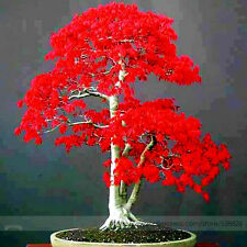 Cute Japanese Red Maple Bonsai Tree Cheap Seeds 20 Seeds