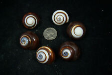 """6 Beautiful  Brown And White Land Snails Shells  1"""" to 1 1/4"""" Hermit Crab"""