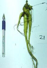 15 mandrake seeds, Mandragora officinalis, 15 graines de mandragore, Alraune