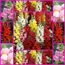 "Snapdragon ""Tom Thumb Mix "" 500 flower garden seeds dwarf biennial easy to grow"