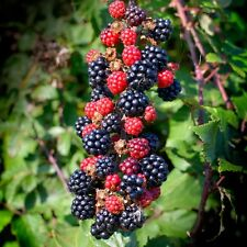 Blackberry-Rubus Fruticosus - 1 PKT 25 semi. sano native frutta frutti in bacche.