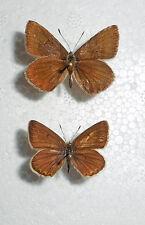 AGRODIAETUS VIOLETAE ssp.SUBBAETICUS *male * SPAIN,Albacete