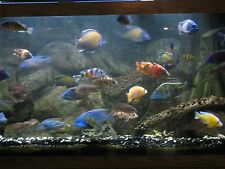 (10) African Cichlid Peacock, Mbuna & Hap`s Tropical freshwater Assortment