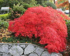 "6 YR. Old ""Crimson Queen"" Japanese Maple from Happy Valley Farm"